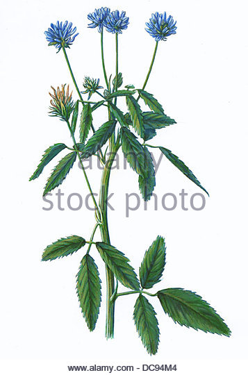 Schabzigerklee Trigonella Caerulea gewrzpflanze Stockbild