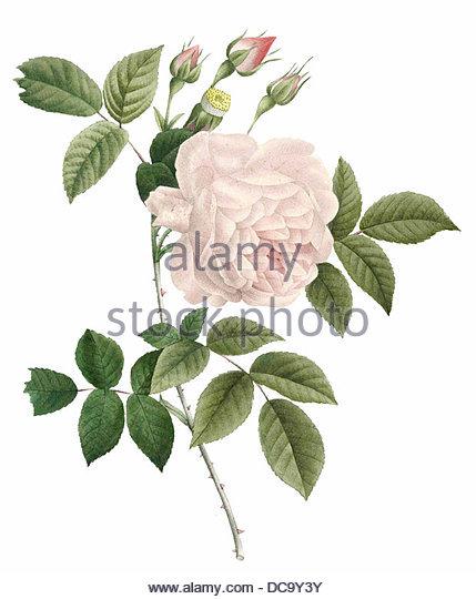 Rose-Indien Stockbild
