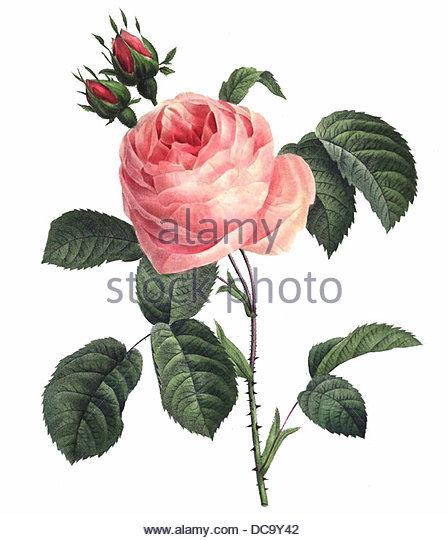 Rosa centifolia Stockbild