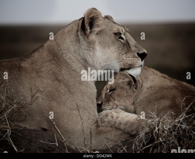 Löwe-Mutter und Jungtier. Serengeti. Tansania Panthera leo Stockbild