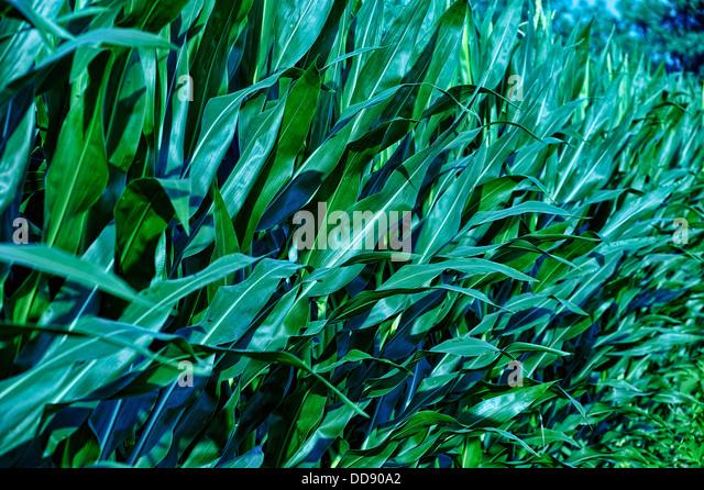 Mittsommer-Mais in Ohio Ackerland Stockbild