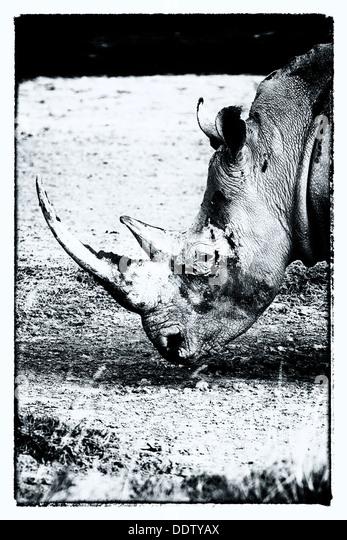 Einzelne weiße Nashörner grasen: Detail Kopf, seitliche Ansicht in stilisierten Monochrom, Lake Nakuru, Stockbild