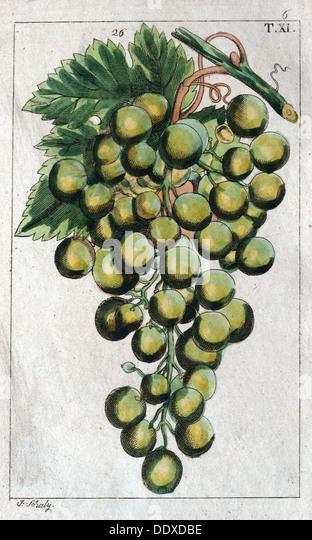 Weintrauben, Weinstock, Landwirtschaft, Obst, Essen und trinken, Trauben, Pflanzen, reif, würzen, natürliche, Stockbild