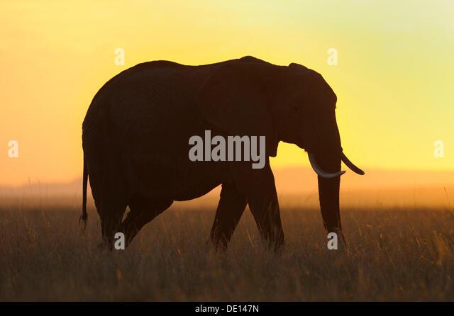 Afrikanischer Elefant (Loxodonta Africana) bei Sonnenuntergang, Masai Mara National Reserve, Kenia, Ostafrika, Afrika Stockbild