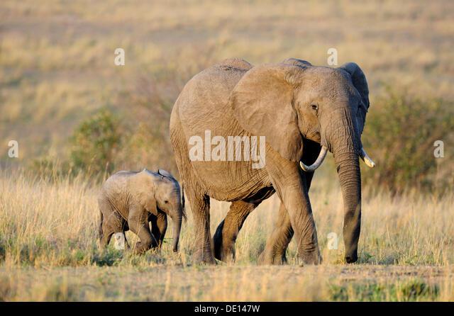 Afrikanischer Elefant (Loxodonta Africana), Kuh und Kalb auf das erste Licht der Morgendämmerung, Masai Mara Stockbild