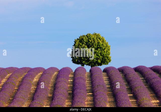 Ein Baum im Lavendelfeld Stockbild