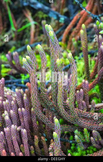 Paramo Vegetation, Lycopodium, Cotopaxi Nationalpark, Provinz Cotopaxi in Ecuador, Südamerika Stockbild