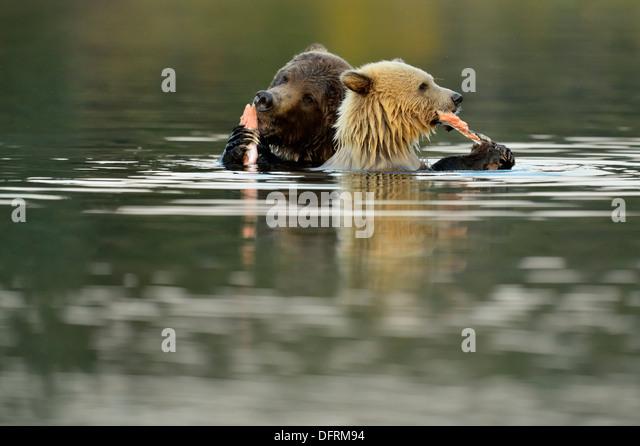 Grizzly Bär Ursus Arctos erste Jahr weiße Cub und braun Mutter Fütterung auf Lachs Chilcotin Wildnis Stockbild