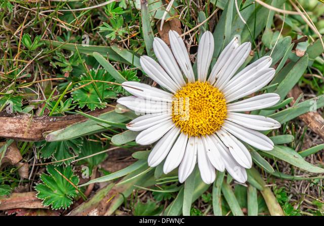 Paramo Vegetation, Kamille der Anden Blumen, Cotopaxi Nationalpark, Provinz Cotopaxi, Ecuador Stockbild