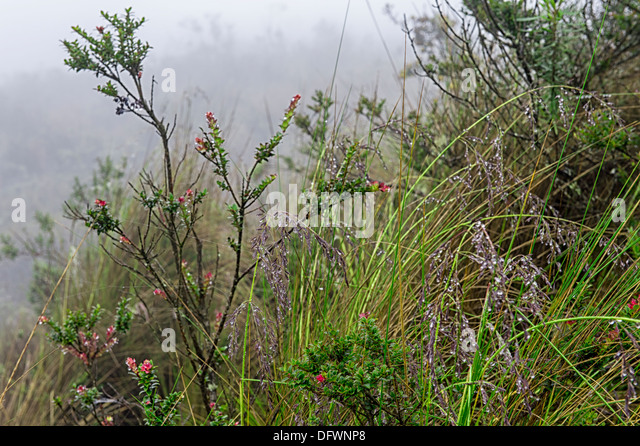 Cotopaxi-Nationalpark, Vegetation, Provinz Cotopaxi, Ecuador Stockbild