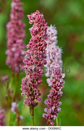 Persicaria Amplexicaulis Donald Lowdes Sommer Blume sommergrüne mehrjährige rot rosa Herbst Herbst Oktober Stockbild