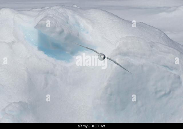 Snow Petrel gleitet über die Eisscholle im Südpolarmeer, 180 Meilen nördlich von Ostantarktis, Antarktis Stockbild