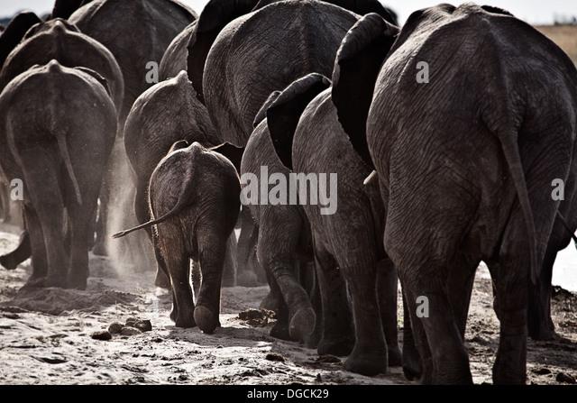 Elefanten gehen Sie entlang eines Flusses. Stockbild