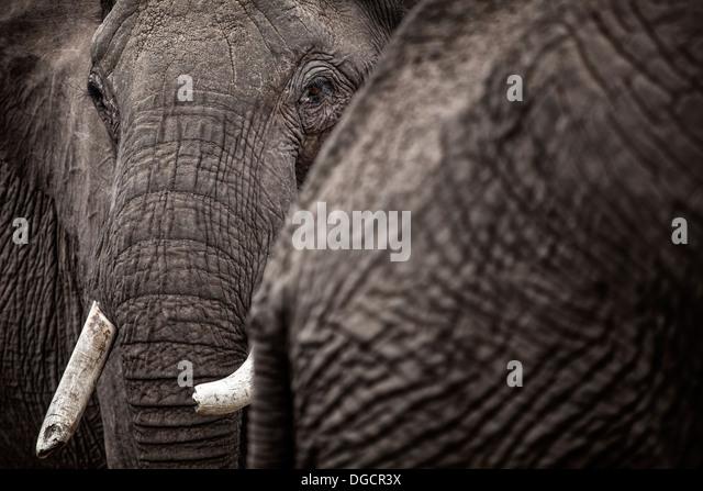 Ein großer Elefant schaut hinter einem anderen Elefanten Stockbild
