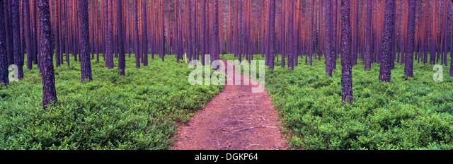 Ein stark bewaldete Wald in Südnorwegen. Stockbild