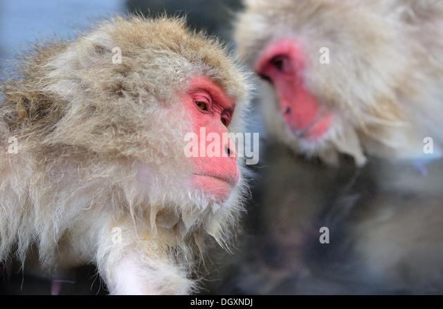 Makaken im Affenpark Jigokudani in Nagano, Japan. Stockbild
