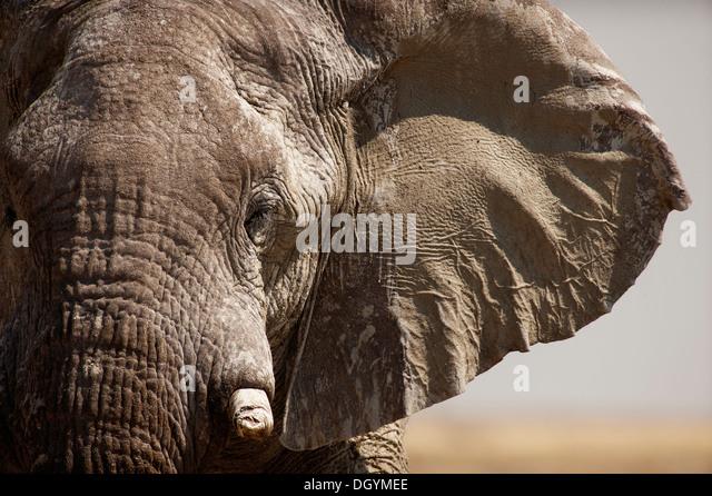 Nahaufnahme eines Elefanten mit einer gebrochenen Tusk im Etosha Nationalpark, Namibia Stockbild