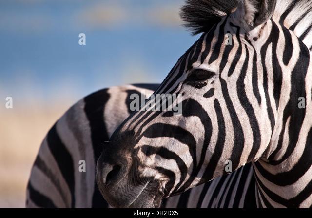 Zebra über seine Schulter blickend Stockbild