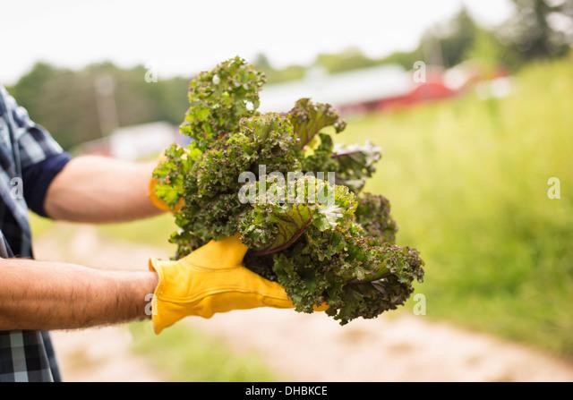 Arbeiten auf einem Bio-Bauernhof. Ein Mann hält eine Handvoll frisches grünes Gemüse, frisch gepflückten Stockbild