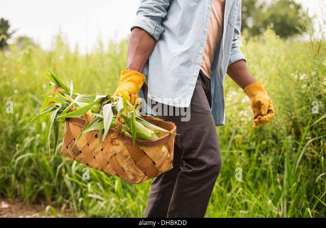 Arbeiten auf einem Bio-Bauernhof. Ein Mann hält einen Korb mit frischen Maiskolben produzieren frisch gepflückten. Stockbild