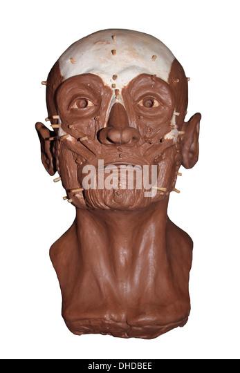Gesichtsrekonstruktion Modell Stockbild