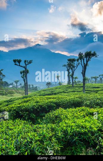 Sonnenaufgang über Tee-Plantagen, Haputale, Sri Lanka Hill Country, Sri Lanka, Asien Stockbild
