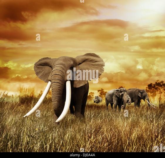 Elefanten im Sonnenuntergang, zu Fuß auf dem Rasen Stockbild