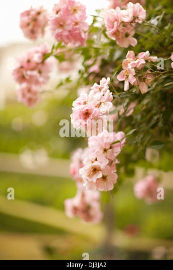Nahaufnahme von rosa Blumen wachsen auf Bush über Zaun Stockbild