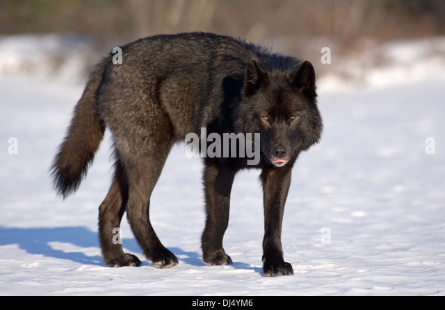 black wolf profile stockfotos black wolf profile bilder. Black Bedroom Furniture Sets. Home Design Ideas