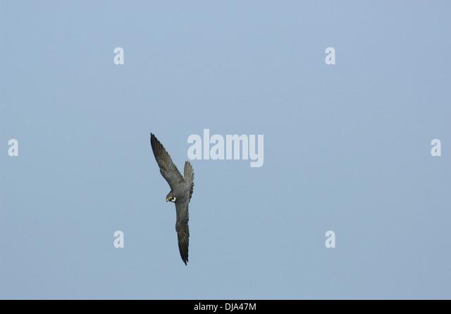 Hobby-Falco subbuteo Stockbild
