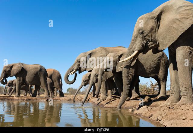 Afrikanischer Elefant (Loxodonta Africana) kleine Gruppe von Elefanten an einem Wasserloch im Mashatu Wildreservat Stockbild