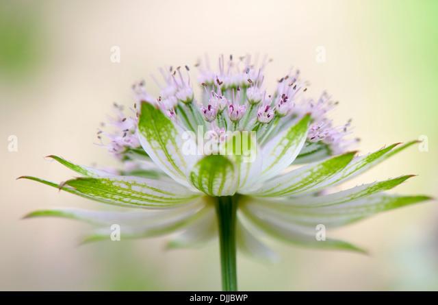Nahaufnahme Bild einer einzelnen weiß/rosa Astrantia große Blume Sterndolde umgangsprachlich - Stock-Bilder