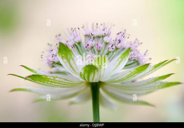 Nahaufnahme Bild einer einzelnen weiß/rosa Astrantia große Blume umgangsprachlich Meisterwurz, Aufnahme Stockbild