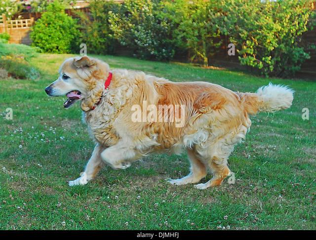 Abgespeckt Hund Lottie siehe auch C95360 als ein dicker Hund. Vorher und nachher - ist dies nach der Diät Stockbild