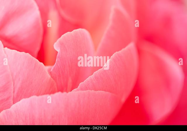 Full-Frame Nahaufnahme Detail rosa Pfingstrose Blütenblätter Stockbild