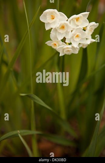 Nahaufnahme eines weißen Frühlingsblumen im Garten wachsen Stockbild
