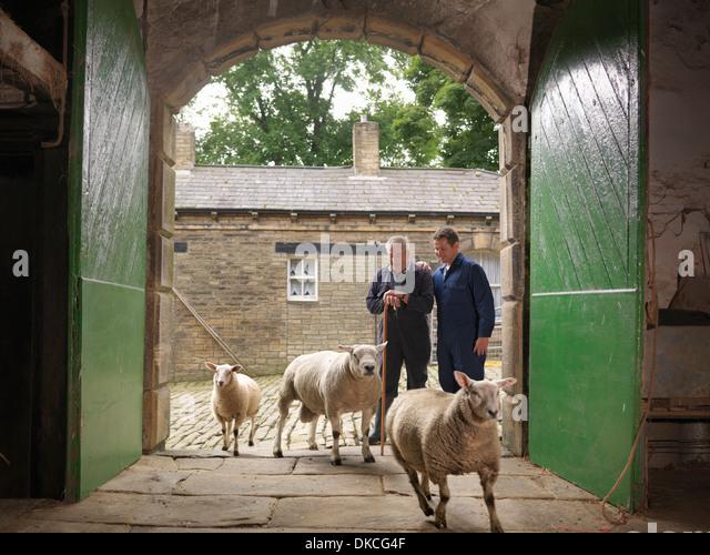 Bauer und Sohn gerade Schafe geben Sie alte Scheune Stockbild