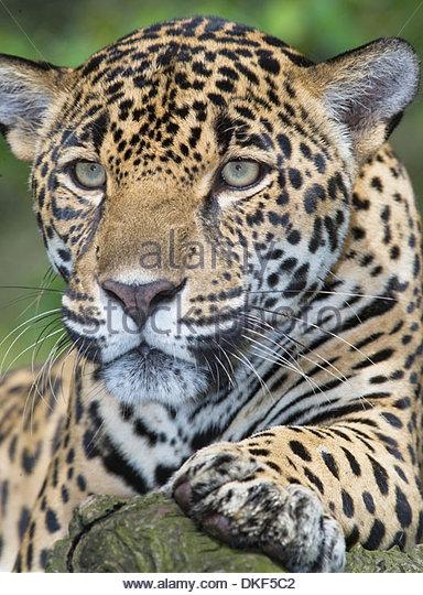 Nahaufnahme von erwachsenen männlichen Jaguar (Panthera Onca), San Jose, Costa Rica Stockbild