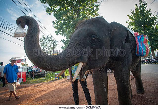 Straße Bettler Elefanten am Uttarardit Nacht Markt, Thailand. Angebot Sugar Kane zu verkaufen, dann zurück - Stock-Bilder