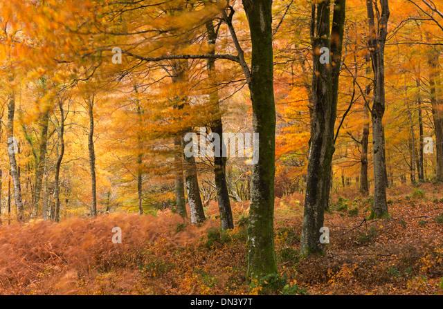 Herbstfarben im Laubwald, Exmoor National Park, Devon, England. Herbst (November) 2013. Stockbild
