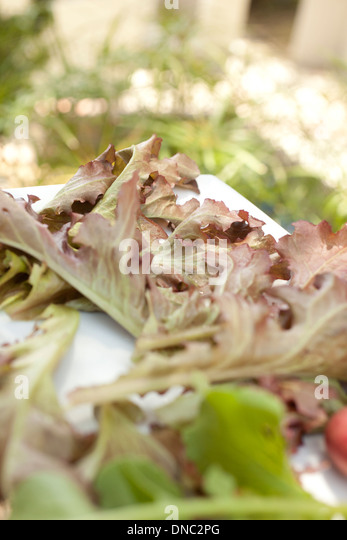 roter Kopfsalat außerhalb Stockbild