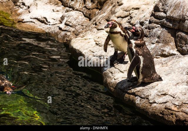 Erhöhte Ansicht der Humboldt-Pinguine (Spheniscus Humboldt) in einem Zoo, Zoo von Barcelona, Barcelona, Katalonien, Stockbild