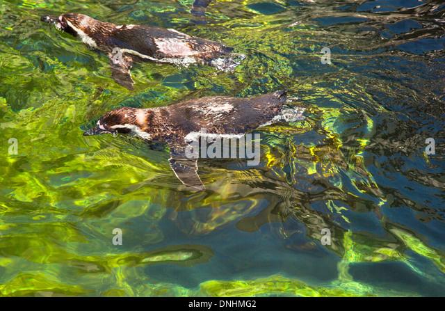 Erhöhte Ansicht der Humboldt-Pinguine (Spheniscus Humboldt) Schwimmen im Teich, Zoo von Barcelona, Barcelona, Stockbild