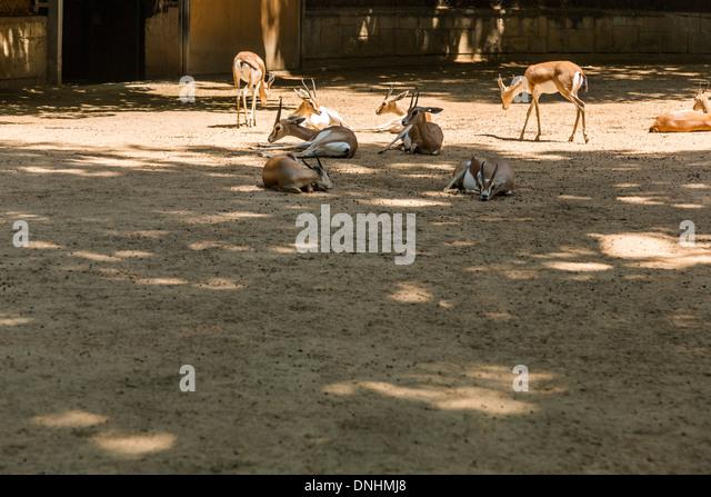Gazellen in einem Zoo, Zoo von Barcelona, Barcelona, Katalonien, Spanien Stockbild