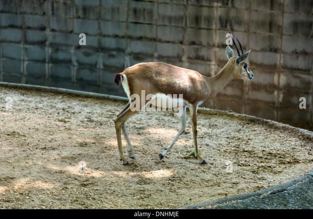 Gazelle in einem Zoo, Zoo von Barcelona, Barcelona, Katalonien, Spanien Stockbild