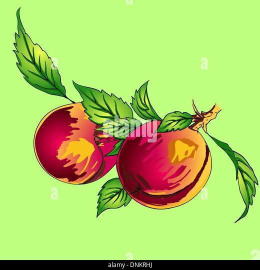 Zwei Pfirsiche mit Blättern auf einem Ast auf hellem Hintergrund Stockbild