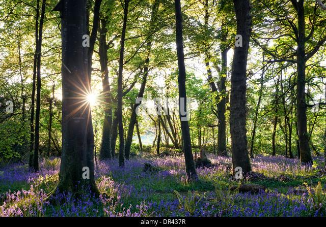 Sonne durch die Bäume Schatten werfen über einen Teppich von Glockenblumen platzen Stockbild