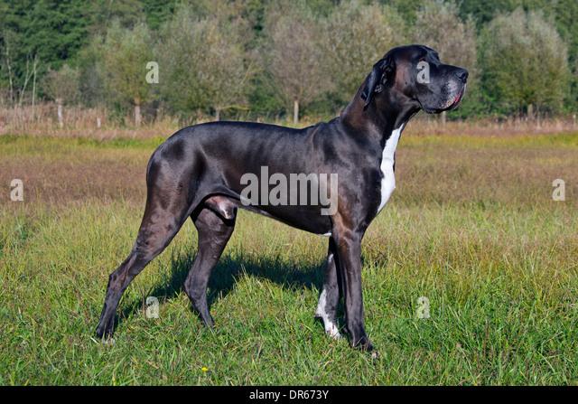 Deutsche Dogge / Deutsche Dogge / Deutsche Dogge, eines der weltweit größten Hund Rassen Stockbild