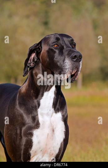 Nahaufnahme von Dogge / Deutsche Dogge / Deutsche Dogge, eines der weltweit größten Hund Rassen Stockbild