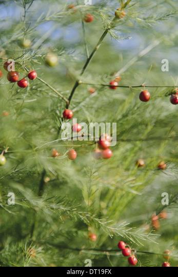 vegetable fern stockfotos vegetable fern bilder alamy. Black Bedroom Furniture Sets. Home Design Ideas